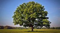 Egy tölgyfa élete